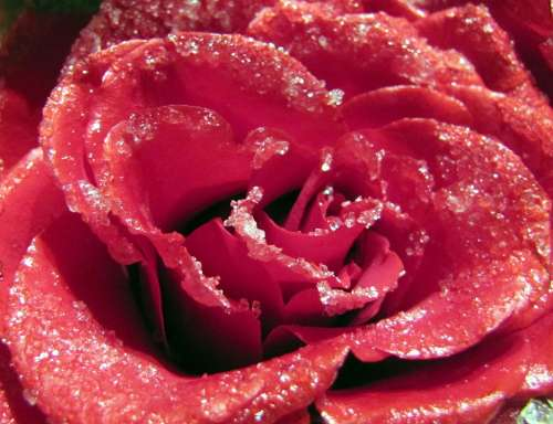 Rose Close Up Red Romantic Sugared Wedding Love