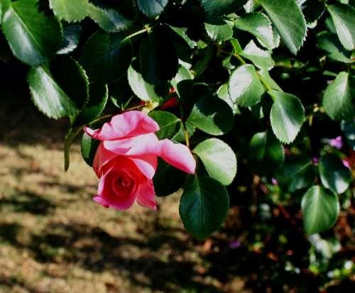 Rose Pink Bud Foliage Green Rambler Pretty