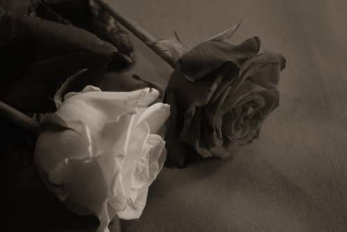 Rose Love Affection Sweet Sepia Romantic Tender
