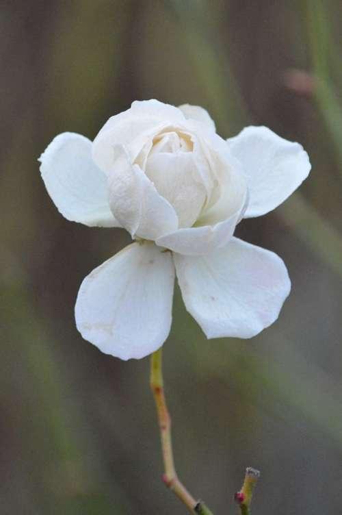 Rose White Flower Nature