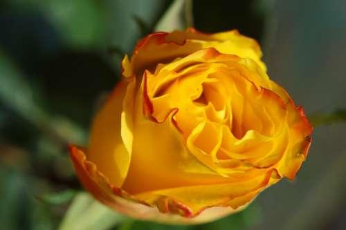 Rose Yellow Blossom Bloom Macro Beautiful