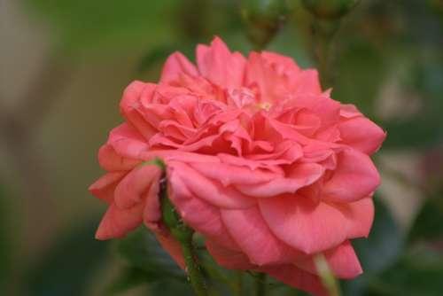Rose Rose De Resht Pink Public Record Roses