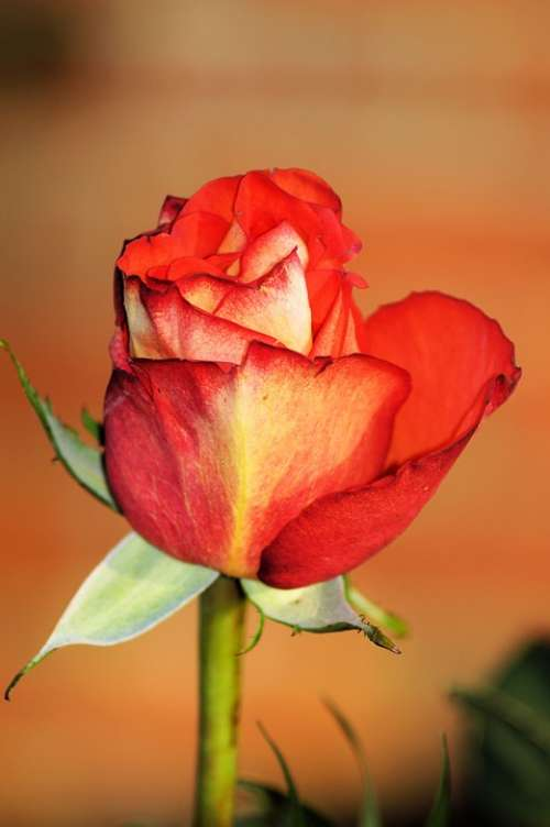 Rose Red Flower Bloom Romantic Love Affection