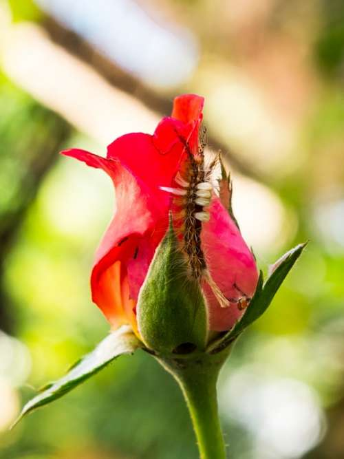 Rose Flower Blossom Bloom Red Small Caterpillar