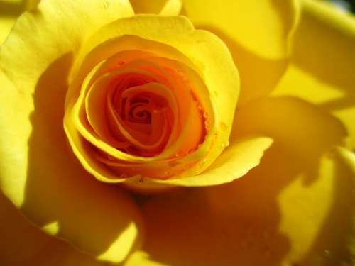 Rose Yellow Flower Rose Bloom Close Up