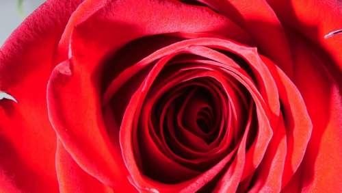 Rose Red Rose Flower Petals