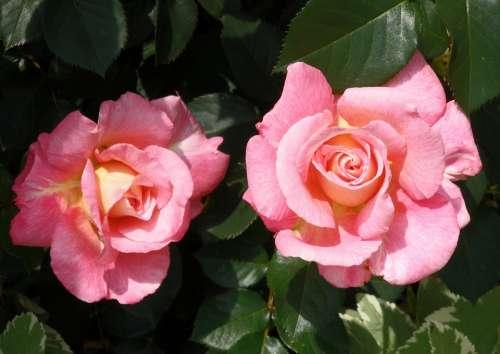 Rose Flora Flower Nature Pink Fragrance Beauty