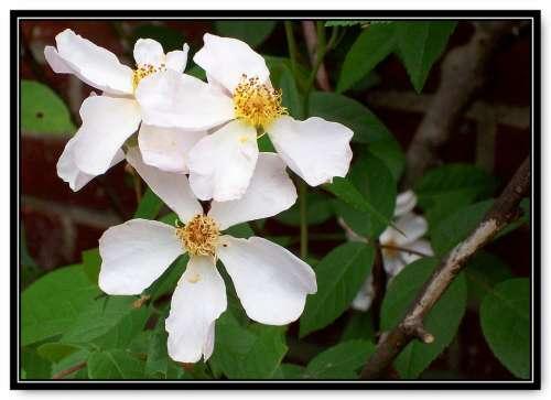 Rose White Single Petal Old Fashioned Nature