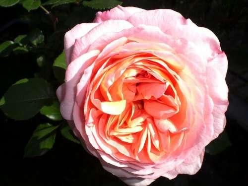 Rose Roses Flower Rose Bloom Fragrance Romantic