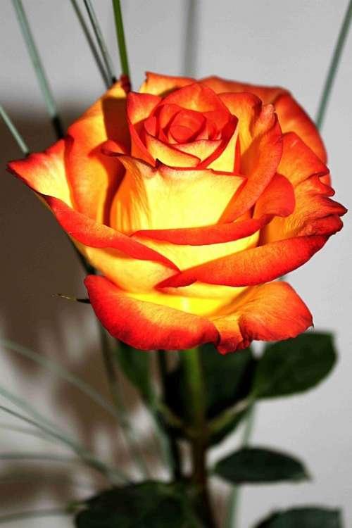 Rose Flowers Plant Blossom Bloom Rose Bloom