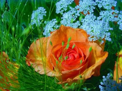 Rose Close Up Beautiful Fragrant Macro