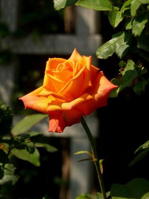 Rose Orange Flora Nature Bloom Orange Rose