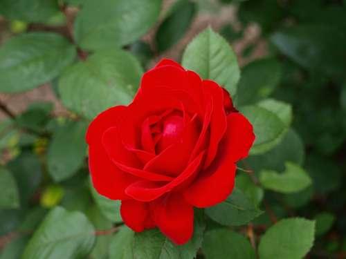 Rose Roses Flowers Flower Red Plant Blossom