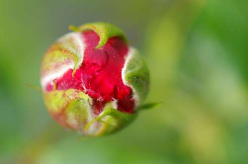 Rose Bud Roses Flowers Flower Red Plant