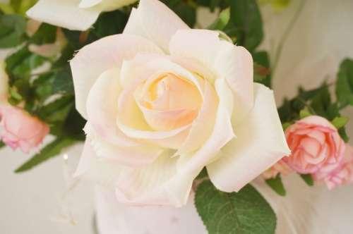 Rose Rosaceae Pink White