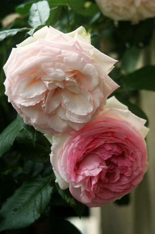 Rose Floribunda Rose Blooms Pink Flowers Blossom
