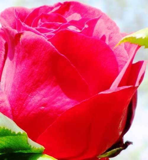 Rose Red Blossom Bloom Rose Bloom Fragrance