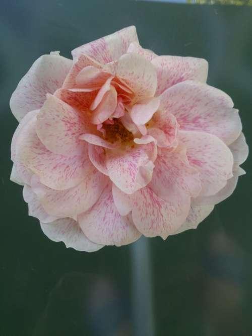 Rose Garden Pink Blossom Bloom Roses