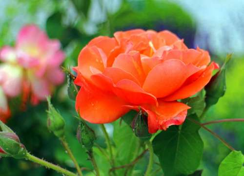 Rose Blossom Bloom Red Pink Roses Flowers