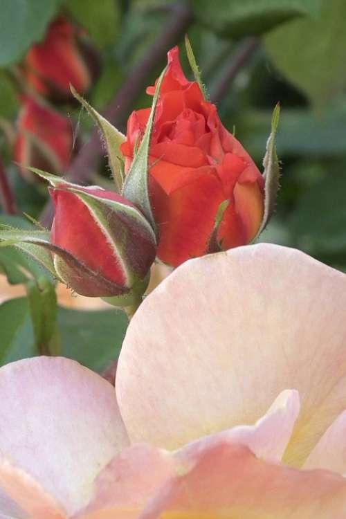 Rose Tender Orange Blossom Bloom Bud