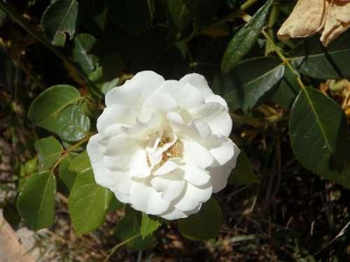 Rose White Blossom Bloom Flower Plant Rose Bloom