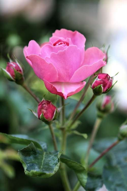 Rose Pink Blossom Bloom Plant Nature Flowers