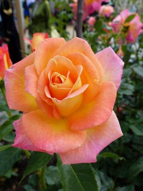 Rose Salmon Open Rose