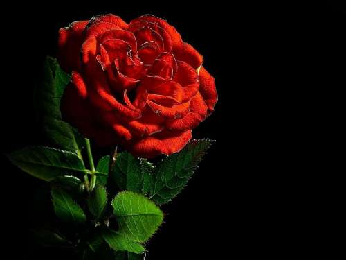 Rose Red Flower Love Romance