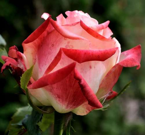Rose Flower Pink Beautiful Floral Nature Beauty
