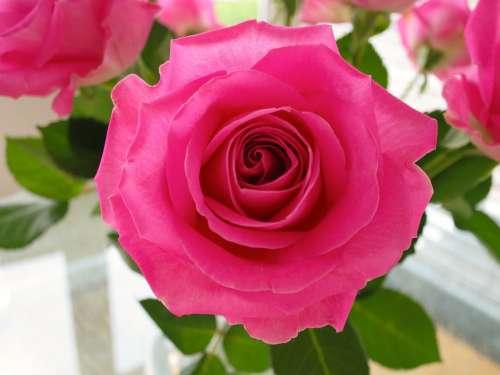 Rose Flower Blossom Bloom Pink Rose Bloom