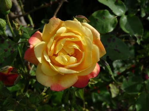 Rose Flower Floral Yellow