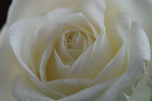 Rose White Flower Blossom Bloom Close Up Wedding