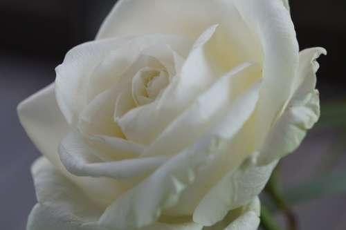 Rose White Flower Blossom Bloom Close Up Wedding