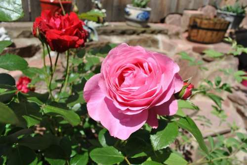 Rose Nature Blossom Bloom Plant Ornamental Plant