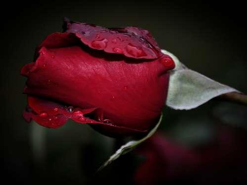 Rose Red Waterdrops Raindrops Flower Love Romance