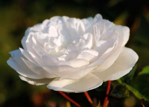 Rose White Blossom Bloom Nature Fragrant Plant