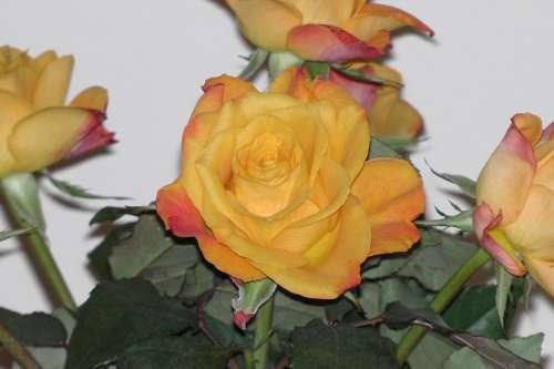 Rose Orange Blossom Bloom Bouquet Rose Bloom