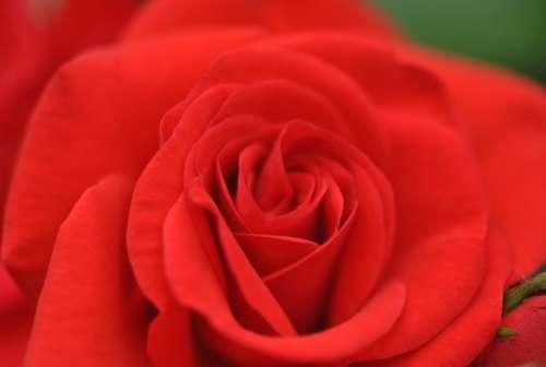 Rose Red Flower Rosa Velvet Flowers