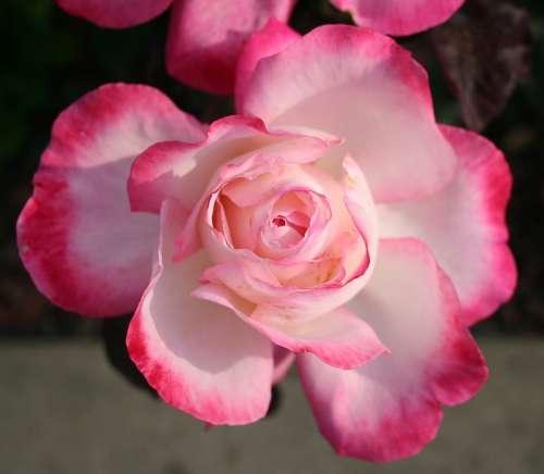 Rose Pink Petal Petals Flower Morning