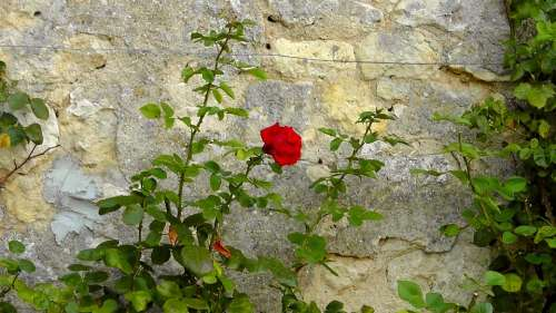Rose Wall Rosebush Lonely Loneliness Nature
