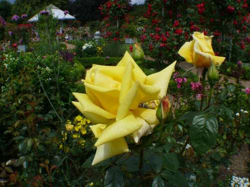 Rose Garden Roses Yellow Blossom Bloom Rose Bloom