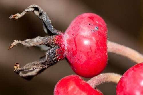 Rose Hip Rosa Canina Fruit Red Wild Rose Nature