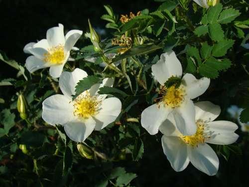 Rose Hip Flowers Summer June Sun Day White