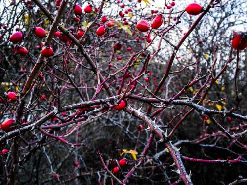 Rose Hip Plant Berries Branch Autumn Red Thorns