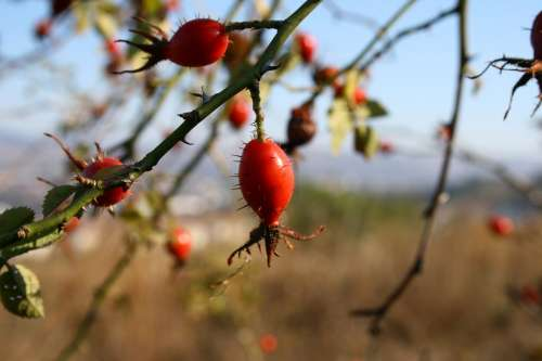 Rose Hip Spiked Nature Autumn Red Spike Wild