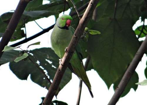Rose-Ringed Parakeet Psittacula Krameri