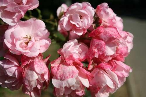 Rosebush Bush Small Flowers Pink