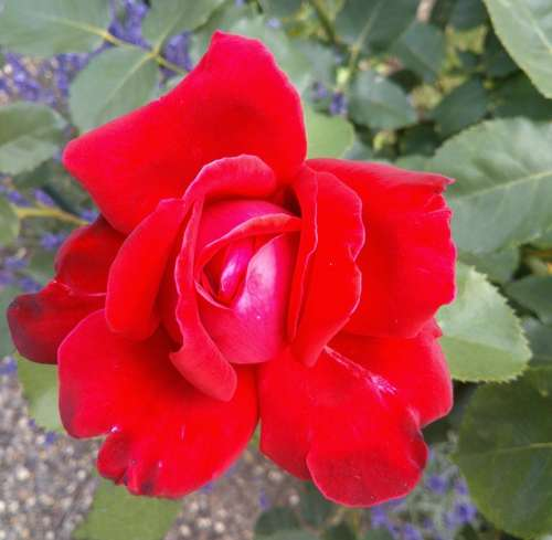 Roses Red Rose Nature Flowers