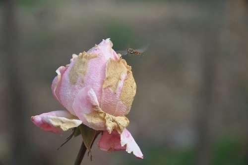 Roses Flower Nature Macro Pink Rose Green Leaf