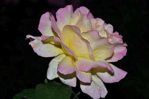Roses Pink Family Flora Plant Tender White Love